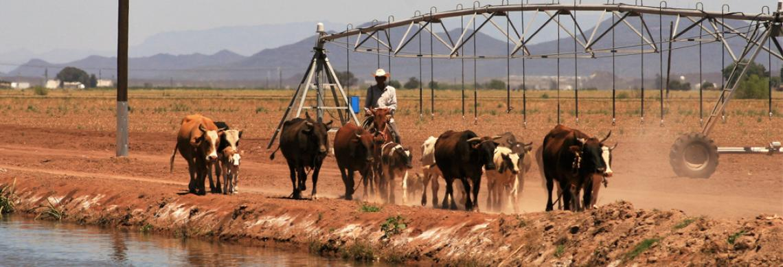 Cowboy driving cattle